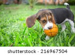 Stock photo beagle puppy playing with ball 216967504