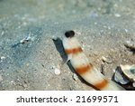 Small photo of steinitz' shrimpgoby (amblyeleotris steinitzi)