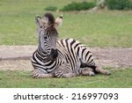 Stock photo young zebra resting on the green meadow closeup view 216997093