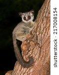 nocturnal lesser bushbaby ... | Shutterstock . vector #217008154