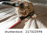 Stock photo grey cat lying on bed and plaing with stick 217323598