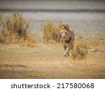 Male Lion Walks Toward Camera...