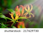 Fire Lily  Gloriosa Lily  ...