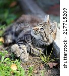 Stock photo funny cute kitten playing macro 217715209