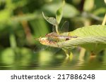 Small photo of Brown dragonfly (Aeschna grandis) sitting on a green leaf, close-up, selective focus