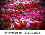 Beautiful Geranium Flowers...