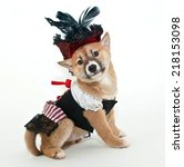 Small photo of Little Shiba Inu puppy dressed up in a pirate wench outfit looking very proud of herself on a white background.