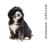Cute Spaniel Crossed With...