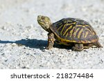 Ornate Box Turtle Crosses A...