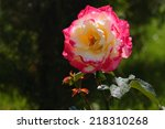 Stock photo yellow roses in the garden 218310268