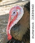 Small photo of Closeup of Turkey head with with snood, wattle, and caruncle