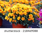 Flowering Fall Mums