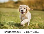 Stock photo seven week old golden retriever puppy outdoors on a sunny day 218749363