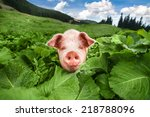 Small photo of Cute pig grazing at summer meadow at mountains pasturage under blue sky. Organic agriculture natural background