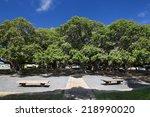 Banyan Tree In Courtyard Squar...