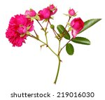 Pink Rose Flowers Twig Isolate...