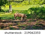 pig in the thicket green bushes.... | Shutterstock . vector #219062353