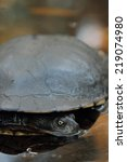 Eastern Long Necked Turtle ...