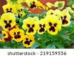 Yellow Viola Flowers In Flower...