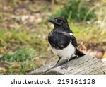 Small photo of The black-billed magpie (Pica hudsonia), also known as the American magpie