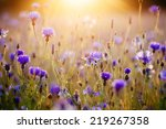 Cornflowers And Light Of The...