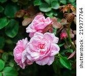 pink roses | Shutterstock . vector #219377764