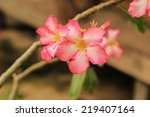 Small photo of Adenium multiflorum is the best known of the South African adeniums.