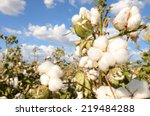 field of cotton ready for... | Shutterstock . vector #219484288