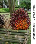 Small photo of oil palm - African oil palm, Macaw fat, (Elaeis guineensis Jacq.)