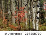 Aspens With Red Maple  Utah ...