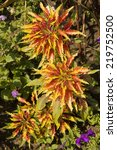 Small photo of Three big flowers coleus of mixed red and yellow colors, vertical.