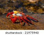 Sally Lightfoot Crab On The...