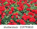 Red Blooming Geranium Flowers.