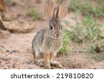 A Desert Cottontail Rabbit...