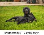 Labrador Puppies Play