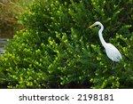 Great White Egret Looks For...