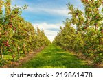 Rows Of Red Apple Trees  ...
