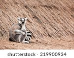 in the zoo lives a ring tailed... | Shutterstock . vector #219900934