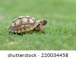 african spurred tortoise | Shutterstock . vector #220034458