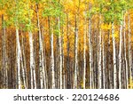 Beautiful Aspen Trees  Populus...