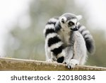 Ring Tailed Lemur They Are...
