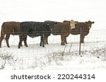 Mixed Breed Cattle During A...