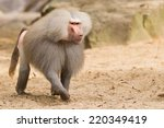 Male Hamadryas Baboon Is...