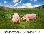 Cute Pigs Grazing At Summer...