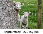 Hiding Behind Tree Sheep And...