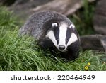 The European Badger Also Called ...