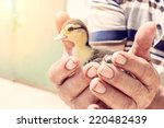 Stock photo farmer holding little duck in his hands selective focus 220482439