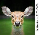 Deer Face Close Up