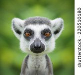 lemur face close up | Shutterstock . vector #220510180