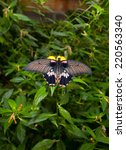 Small photo of Detail of female great mormon, Papilio memnon agenor, butterfly perching on pink flower